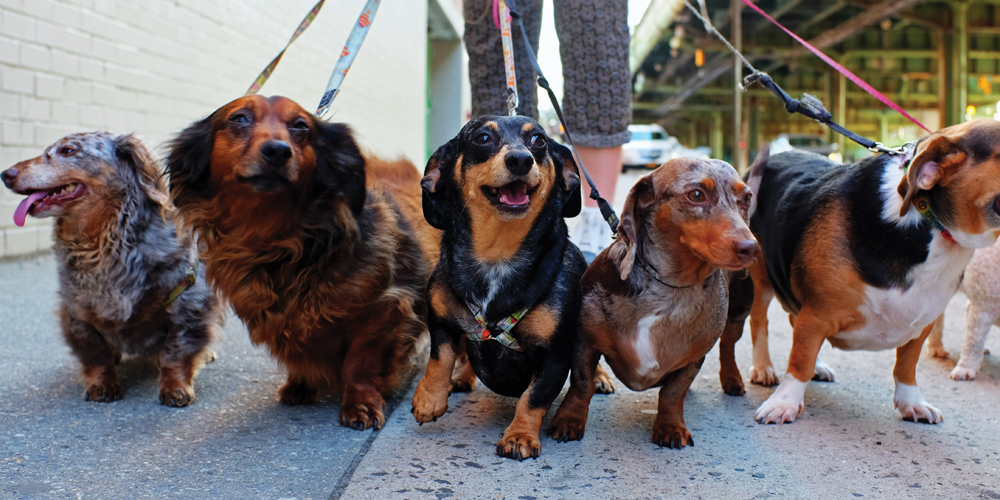 harbourside-place-dachshund-puppy-social